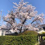 今年の桜は🌸🌸